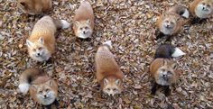 Fox Village In Japan Is Probably The Cutest Place On Earth Yes.