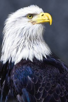 The majestic bald eagle List Of Animals, Animals And Pets, Beautiful Birds, Animals Beautiful, Majestic Animals, Owl Tattoo Drawings, Wild Animals Photography, Eagle Pictures, Kinds Of Birds