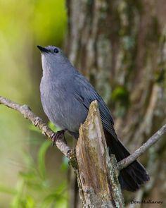 Summer Birds to Watch For: Grey Catbird