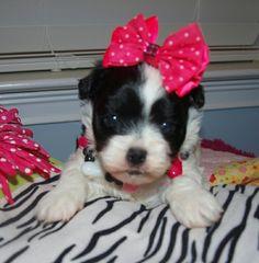 Cute baby Maltipoo