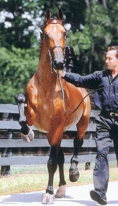 Dutch Harness Horse - Netherlands