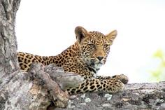 Leopard Cub, Inyati National Park, South Africa © Stephen Mawby