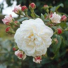 Aimee Vibert ; Bushy vigorous climber.  Creamy white medium sized blooms with a strong scent are held in small clusters.  Not very thorny, repeat flowering & attractive to bees – a winner.  Will tolerate some shade.