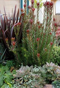 'Safari Sunset' (the shrub) is large, evergreen and open and has fantastic flowers great for cutting.Leucadendron 'Safari Sunset' (the shrub) is large, evergreen and open and has fantastic flowers great for cutting. Garden Shrubs, Landscaping Plants, Succulents Garden, Landscaping Ideas, Tropical Landscaping, Backyard Ideas, Succulent Landscaping, Dry Garden, Porch Garden