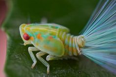 Leafhopper nymph with iridescent tails 1 - World of Animals Weird Insects, Cool Insects, Bugs And Insects, Beautiful Bugs, Amazing Nature, Beautiful Creatures, Animals Beautiful, Animals Tattoo, Leafhopper