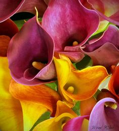~~Calla Lily Profusion by mcpeak_michael~~