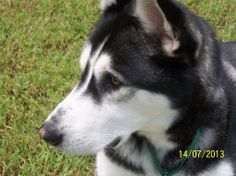 #Siberian #Husky #Rescue of #Florida Inc has had another #adoption: http://www.siberrescue.com/ Duke recently found his forever home.  Congratulations to Duke and his new family!