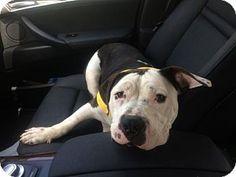 ***URGENT! 8/3/16 Dallas, GA - Pit Bull Terrier. Meet Ceasar, a puppy for…