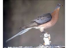 Passenger Pigeon-Extinct Animals That Science Could Bring Back From The de@d