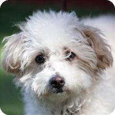 Oceanside, CA - Miniature Poodle/Jack Russell Terrier Mix. Meet Melina a Dog for Adoption.