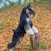 Ranked as one of the most popular dog breeds in the world, the Miniature Schnauzer is a cute little square faced furry coat. Schnauzer Breed, Schnauzer Grooming, Standard Schnauzer, Miniature Schnauzer Puppies, Giant Schnauzer, Dog Grooming, Love Pet, I Love Dogs, Cute Dogs