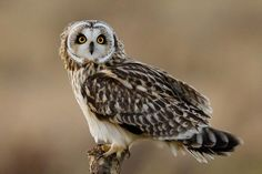 Coruja-do-nabal ( Asio flammeus) Owl Photos, Owl Pictures, Beautiful Owl, Animals Beautiful, Short Eared Owl, Funny Owls, Burrowing Owl, World Birds, Flightless Bird