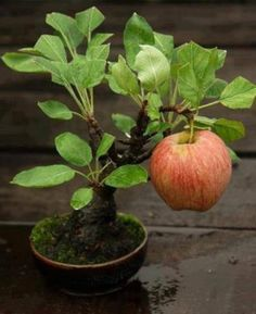 landscape-a-design:  Bonsai miniature apple tree with ripe apple