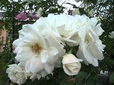 VIDEO, Click to Play - White Roses Rose Tree Flower Flowers with Birds Chirping Natural Sounds