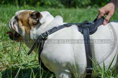 Popular #Leather #Harness for #English #Bulldog $69.00 | www.all-about-english-bulldog-dog-breed.com