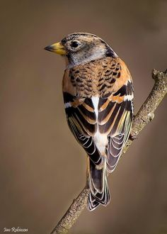 #Brambling (Fringilla montifringilla). The brambling is similar in size and shape to a common #chaffinch. Breeding-plumaged #male bramblings are very distinctive, with a black head, dark up perparts, orange breast and white belly. #Females and younger birds are less distinct, and more similar in appearance to some chaffinches.