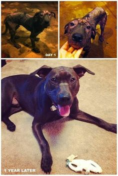 """Pig Pen: my rescue pit bull. Before & After, one year later."""