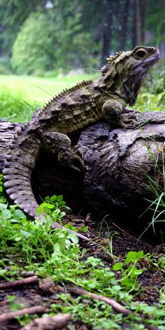 This is Henry, the oldest Tuatara Lizard in New Zealand's Invercargill Tuataarium in the South Island. The average life span of a Tuatara is over 100 years ~ Nature Animals, Animals And Pets, Cute Animals, Reptiles Et Amphibiens, Mammals, Photos Voyages, Dragons, Beautiful Creatures, Pet Birds
