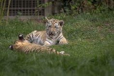 kleine Tiger Baby's aus dem Duisburger Zoo