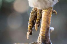 #Patasdegallo #photography #fotografía #rooster #myphotos #nature