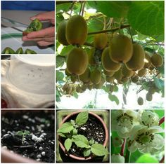 Grow a Kiwi Plant from Seed