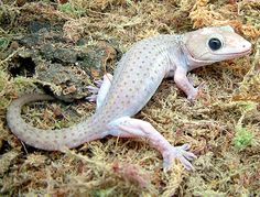 Gekko gecko (Patternless Axanthic morph)  www.boneyardbakery.net