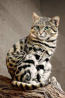 Black Footed Cat - The black-footed cat, also called small-spotted cat (Felis nigripes), is the smallest African cat, and is endemic in the southwest arid zone of the southern African subregion. It is one of the lesser-studied African carnivores, and is listed as Vulnerable by the IUCN since 2002