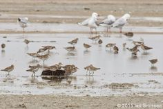 Sharp-tailed Sandpiper + Silver Gull, Lake Tutchewop, Kerang Pentax K-3, Sigma 300mm f/22, ISO 400, f/16 1/100