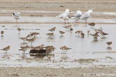 Sharp-tailed Sandpiper + Silver Gull, Lake Tutchewop, Kerang Pentax K-3, Sigma 300mm f/22, ISO 400, f/16 1/100