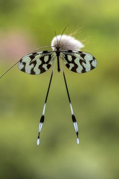 Spoon-winged Lacewing (Nemoptera sinuata) by Yılmaz Akar
