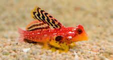 """Live Rare Saltwater Fish - 1"""" Ruby Red Dragonet - Exotic Scooter Blenny"""
