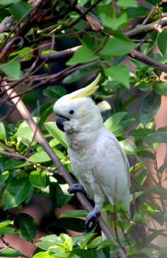 The yellow crested cockatoo a species that was introduced to #HongKong this beautiful bird with its #exotic plummage is now critically #endangered.