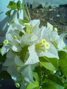 White bougainvillea - in my sister's garden