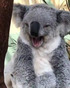 Super cute Koala yawn - Koala Funny - Funny Koala meme - - The post Super cute Koala yawn appeared first on Gag Dad. Funny Koala, Cute Funny Animals, Cute Baby Animals, Drop Bear, Nature Animals, Animals And Pets, The Wombats, Cute Animal Videos, Wild Life