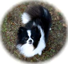 GABRIELLE'S AMAZING FANTASY CLOSET | This is Persia.  She's a Beautiful  Irish Marked, Black and White, Parti-Colored Pomeranian. She's from Dee's Pomeranians. -G.