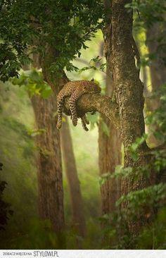Jaguar chillin & sleeping