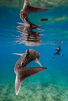 Whale Shark~