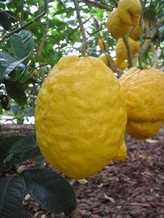 I VERI Limoni  di Sorrento - Cerca con Google