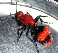 "Red Velvet Ant...we call them ""cow ants"" where I live."