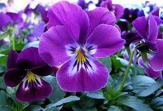 """Foto Frontera: Hermosas flores de color púrpura llamadas """"pensamientos"""""""