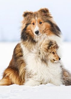 Rough Collie Mother with her Puppy Beautiful Dogs, Animals Beautiful, Cute Animals, Beautiful Creatures, Beautiful Things, Rough Collie, Collie Dog, I Love Dogs, Cute Dogs