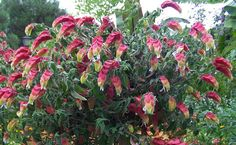 plante crevette (Justicia brandegeeana) Plantation, Cool Plants, Shade Garden, Shrubs, Texas, Flowers, Kitchen, Blog, Gardens