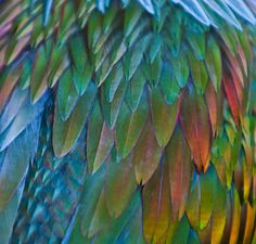 The world is brimming with 'fancy' pigeons, but perhaps the most show-stopping of them all is the Nicobar pigeon.