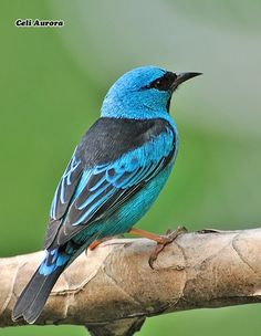 Blue Dacnis, Nicaragua to Panama, Trinidad & in South America south to Bolivia & northern Argentina. Photo by Celi Aurora, via Flickr