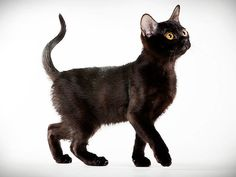 Cat Breed Photo Gallery: Animal Planet  Bombay