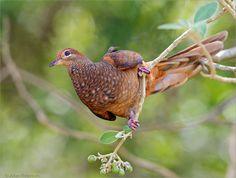 Slender-billed Cuckoo-Dove, or Brown Cuckoo-Dove (Macropygia amboinensis)