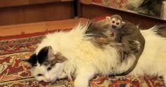 Un chat de 16 ans adopte un singe de 3 semaines.  La communication entre les espèces animales me surprendra toujours.