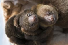 Googled two-toed sloths hugging.. was not disappointed - Imgur