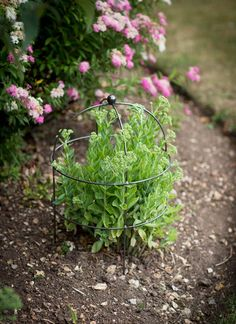 Superb Small Barrington Domed Plant Support In Raw Metal By Garden Trading. £22.  Also