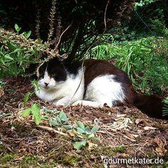 Mein Kumpel Teddi genießt den neuen Garten! #gourmetkater #cat #kater #katze #Garden